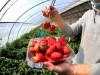 北京:景区有序恢复开放,采摘园草莓正红