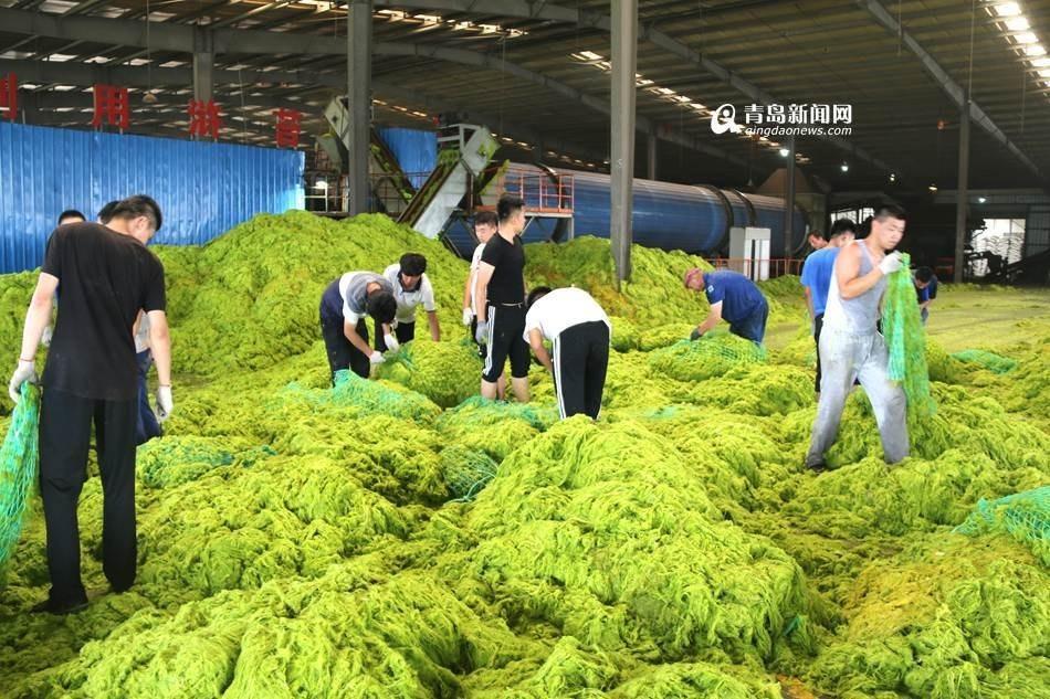 青岛所辖海域浒苔覆盖面积约89平方公里-新华图闻网